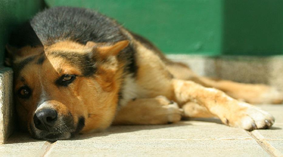 golpe-de-calor-en-perros-3